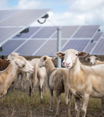 Sheep at Blue Cypress Solar Energy Center